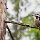 A proud mother !   Dendrocopos major / Great Spotted Woodpecker